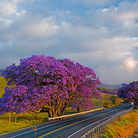 Nature  Photographer - Jacaranda #6 - A row of Jacaranda trees in full bloom