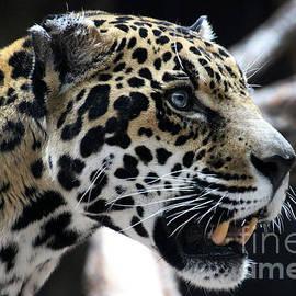 Gary Gingrich Galleries - Jaguar-7276