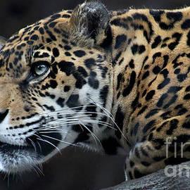 Gary Gingrich Galleries - Jaguar-8441