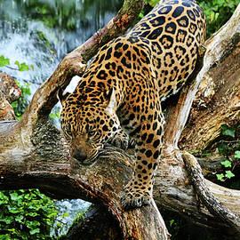 Spade Photo - Jaguar Descending
