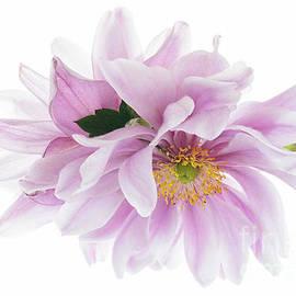 Ann Garrett - Japanese Anemones Back to Back