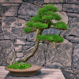 Steven Ralser - Japanese Black Pine Bonsai