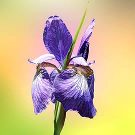 Mother Nature - Japanese Iris - Iris sanguinea - Purple