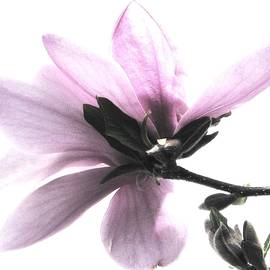 Angela Davies - Japanese Magnolia Blossom