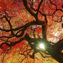 Abhay P - Japanese Maple