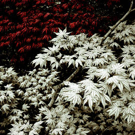 Japanese Maples - Frank Tschakert