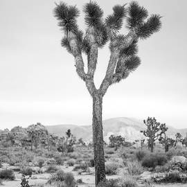 Alex Snay - Joshua Tree before Storm