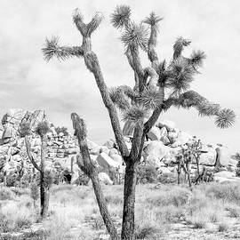 Alex Snay - Joshua Tree Branches