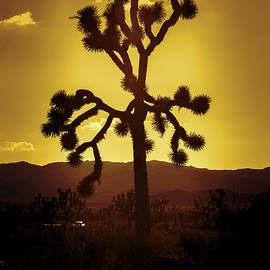 Stephen Stookey - Joshua Tree Glow