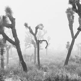 Alex Snay - Joshua Trees in Fog Panoramic