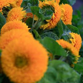 Tracy  Hall - Joy Of Sunflower