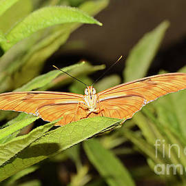 Marv Vandehey - Julia Butterfly