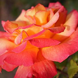 Vicky Adams - Sweet July Rose
