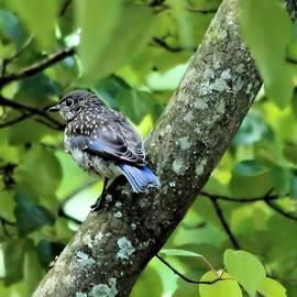 Katherine White - Juvenile Bluebird
