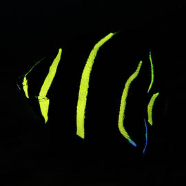 Brent Barnes - Juvenile Gray Angelfish in West Palm