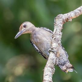 Christy Cox - Juvenile Red-bellied Woodpecker, Melanerpes carolinus