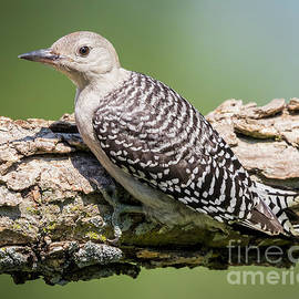 Ricky L Jones - Juvenile Red-Bellied Woodpecker