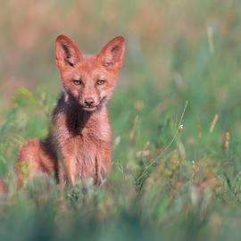 Sergey Ryzhkov - Juvenile Red Fox