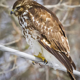 Ricky L Jones - Juvenile Red-Shouldered Hawk