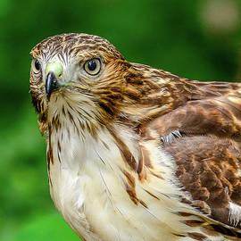 Morris Finkelstein - Juvenile Red-Tailed Hawk Portrait