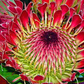 Michael Durst - King Protea