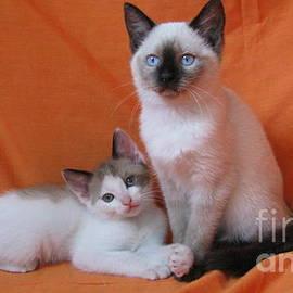 Pamela Benham - Kitten Buddies Mink Chocolate Bicolor and Seal Point on Orange SilkTapestryKittensTM