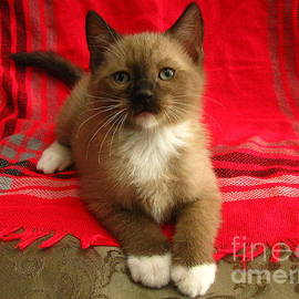Pamela Benham - Kitten Mink Chocolate and White Mitted with Green Eyes