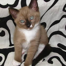 Pamela Benham - Kittens Checkers and Contrast
