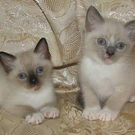Pamela Benham - Kittens Seal Point Blue Point