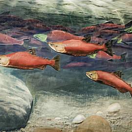 LeeAnn McLaneGoetz McLaneGoetzStudioLLCcom - Kokanee Salmon Lake Tahoe California