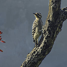 Peggy Blackwell - Ladder-back Woodpecker