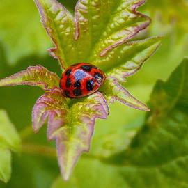 Holly Sylvester - Lady Bug