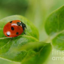 Rawshutterbug - Ladybird