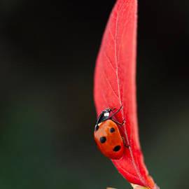 Mickey At Rawshutterbug - Ladybug On An Autumn Leaf