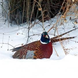 Will Borden - Lake Country Pheasant 2