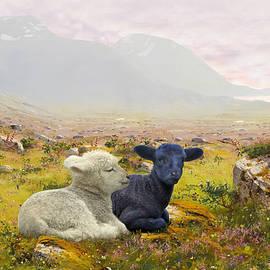Matthew Schwartz - Lambs on a Hillside