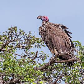 Morris Finkelstein - Lappet-Faced Vulture