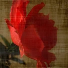 CJ Anderson - Last Rose In The Morning Light