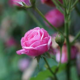 Carrie Goeringer - Last Rose of Summer