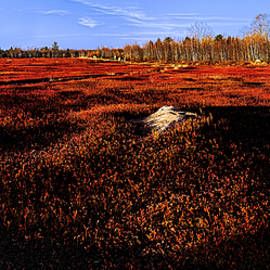 Marty Saccone - Late Autumn Crimson Blueberry Barrens