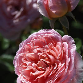 Joy Watson - Late Summer Rose