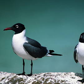 Sally Weigand - Laughing Gulls