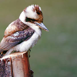 Nicholas Blackwell - Laughing Kookaburra