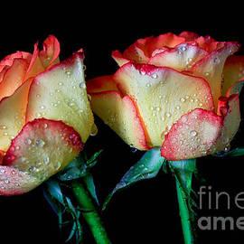 Tracy  Hall - Lava Roses