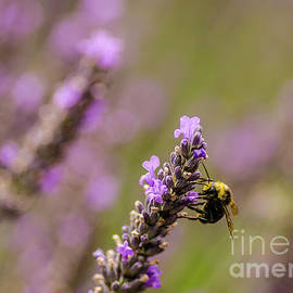 Nick Boren - Lavender And Bee