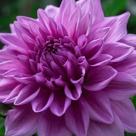 Arlene Carmel - Lavender Dahlia