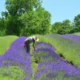 Alex Vishnevsky - Lavender Harvest in Bucks County Pennsylvania