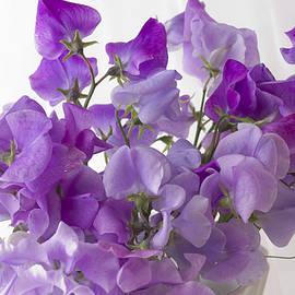 Sandra Foster - Lavender Sweet Peas