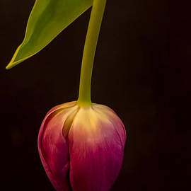 Norma Warden - Lavender Tulip