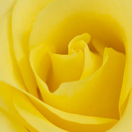 Daphne Sampson - Layers Of A Yellow Rose